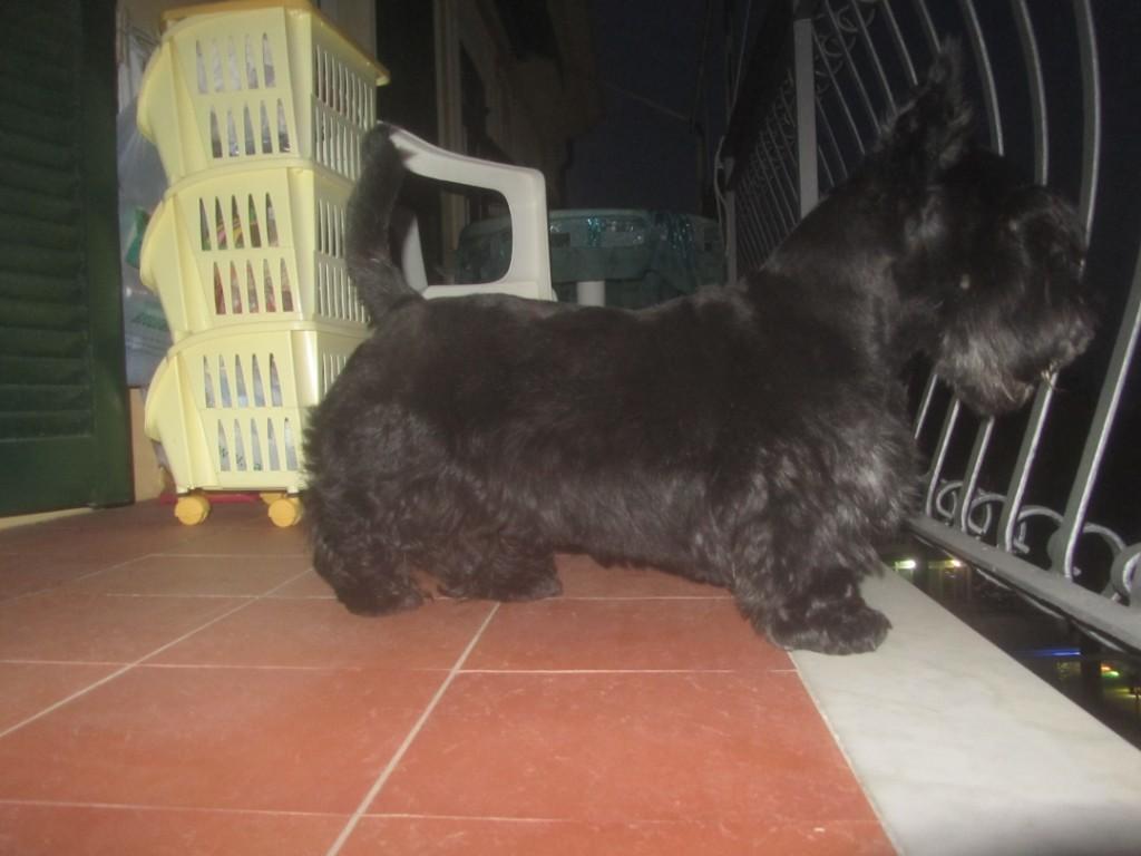 Macadam: Scottish Terrier on Duty